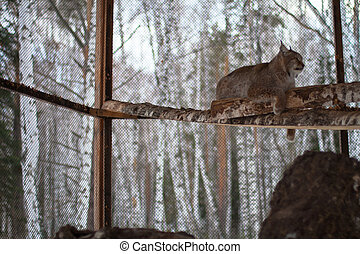 Lynx in the snow background in cage
