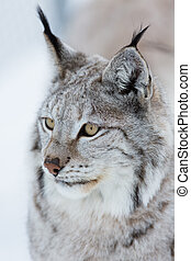 Lynx in the winter