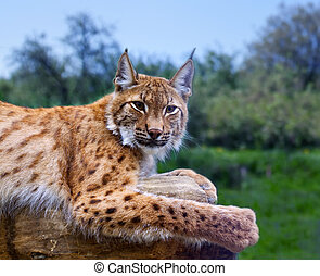 Lynx in wild nature - Lynx lying on the background of wild ...