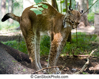 Lynx is standing on his foot, nature background