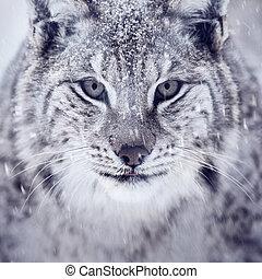 Lynx looking into camera - A european lynx portrait in the...