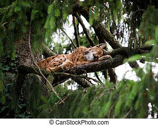 Lynx lying on a tree