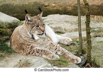Lynx (Lynx lynx) resting on the floor.