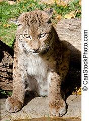 Eurasian Lynx - Lynx lynx %u2013 Eurasian Lynx