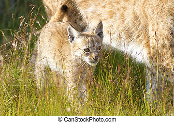 Lynx mother and her cub in the forest