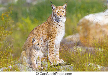 Lynx mother and her cub sits in the forest