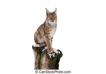 lynx on a white background