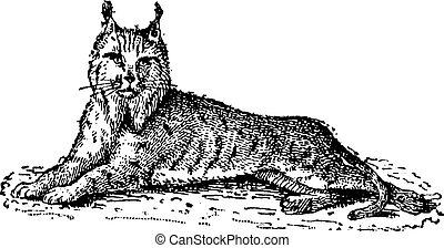 Lynx or Bobcat or Lynx lynx, vintage engraving - Lynx or ...