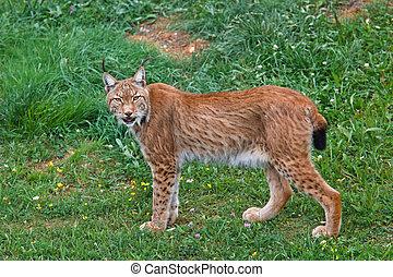 Lynx pardinus in a wild life park