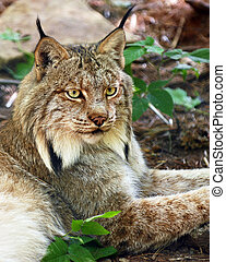 Lynx - Head and shoulders portrait of a beautiful lynx....
