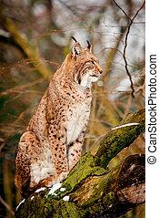 lynx, portrait, forêt