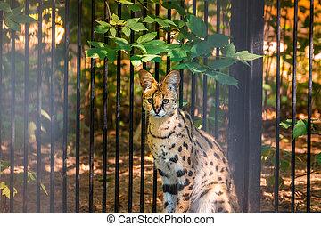 Lynx portrait in zoo