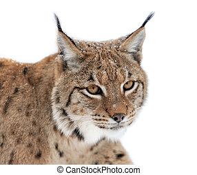 Lynx portrait isolated on white background