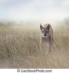 lynx, prairie, jeune