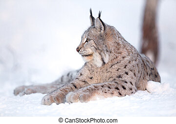 Lynx rests in the snow - Eurasian lynx laying in the snow...