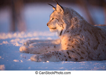 Lynx rests in the sunset - Eurasian lynx lies in the snow...