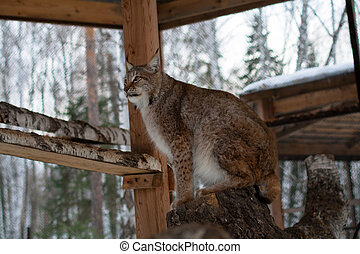 Lynx seating on a tree in cage