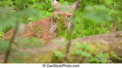 Lynx seen through plants in forest - Handheld shot of lynx ...