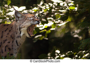 Lynx showing its teeth