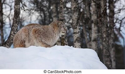 Lynx sitting on snow while looking away at park - Side view ...