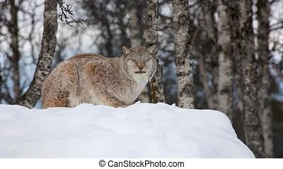 Lynx sitting on snow while looking into camera winter ...