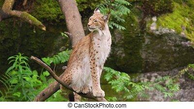 Lynx sitting on tree in forest - Handheld shot of lynx ...