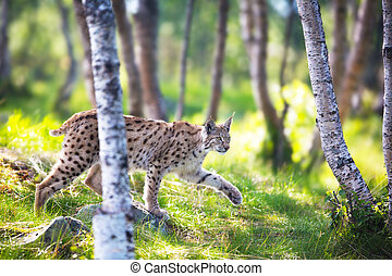 Lynx sneaking in the forest