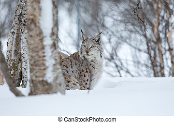 Lynx sneaks in the winter forest - A european lynx in the ...