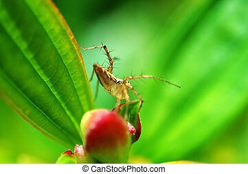 Lynx spider and flower
