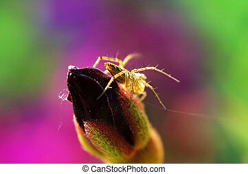 Lynx spider and (flower) bud