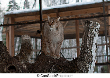 Lynx standing on a tree in cage