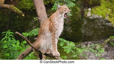 Lynx yawning while sitting on tree in forest - Handheld shot...