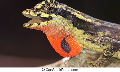 Lyre Anole (Anolis lyra) - male with dewlap in Western ...