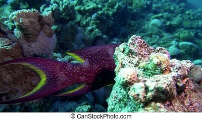 Lyretail Grouper Variola louti slowly swims on the...