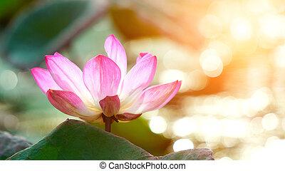 lyserød, blokken, lotus blomstr, ind, vand, dam, have,...