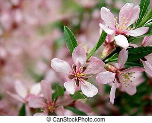 lyserød blomstrer, på, den, træ