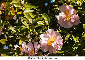 lyserød, camellia, blomster, blokken
