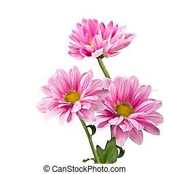 lyserød, chrysanthemum, blomster