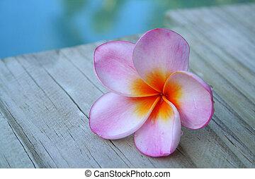 lyserød, frangipani