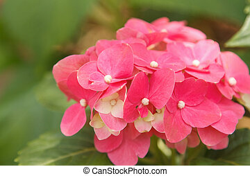 lyserød, hydrangea, blomstre