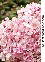 lyserød, hydrangea, blooming