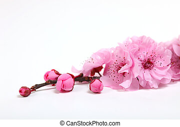 lyserød, kirsebær, blomster, closeup, blomstre