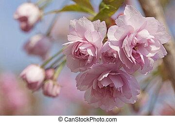 lyserød, kirsebær træ, blomstre