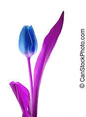 lyserød, og blå, tulipan