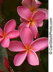 lyserød, plumeria, blomster