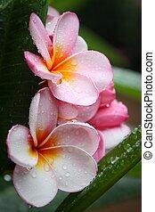 lyserød, plumeria