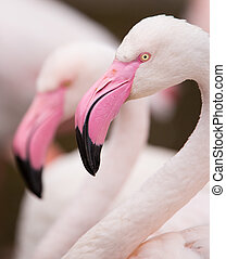lyserød, portræt, flamingo.