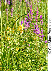 Lysimachia Vulgaris and Lythrum Salicaria - A yellow...