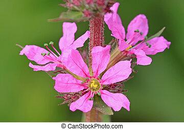 lythrum flowers in full bloom, very beautiful plants, not...