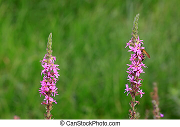 lythrum salicaria flowers in full bloom, very beautiful...